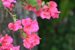 赤田風庭先に咲くブーゲンビリア
