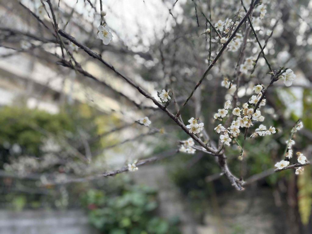 梅の開花〜那覇市首里にて